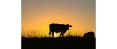 O que é ressincronização de cios e como ela pode ser aplicada na IATF em bovinos?