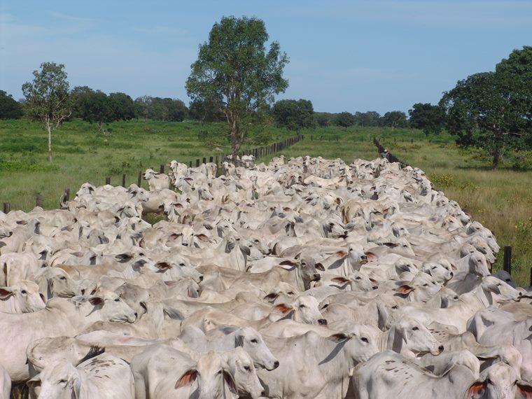 gado se alimentando no pasto